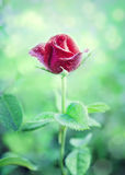 花红色罗斯在庭院里 免版税库存图片