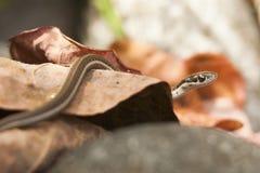 花纹蛇关闭在叶子 免版税库存照片
