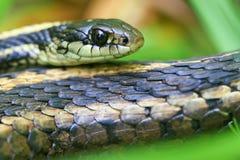 花纹蛇特写镜头 库存照片