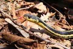 花纹蛇舌头 库存图片