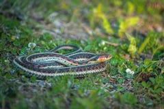 花纹蛇-环状蛇类sirtalis 免版税库存照片