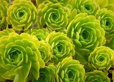 花绿色多汁植物 库存图片