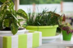 花绿色罐 大阳台的室内植物 免版税库存图片