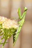 花绿色螳螂祈祷的religiosa 免版税图库摄影