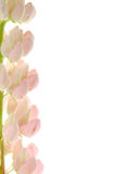 花羽扇豆粉红色 免版税库存图片