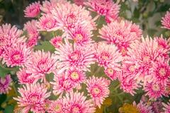花背景的菊花 图库摄影
