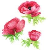 花花束:桃红色银莲花属、铁线莲属和玉树,水彩绘画 免版税库存图片