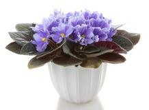 花花盆非洲堇 库存照片