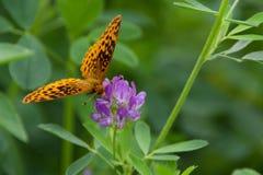 紫花苜蓿叶子 免版税图库摄影