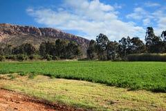 紫花苜蓿或卢赛恩领域在灌溉下 库存照片