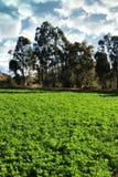 紫花苜蓿或卢赛恩领域在灌溉下 库存图片