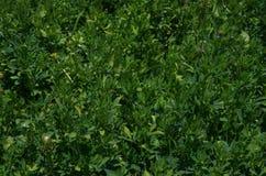 紫花苜蓿领域 库存照片