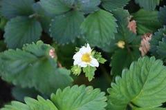 花草莓白色颜色绿色夏天 库存照片