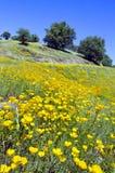 花菱草和橡树 免版税库存照片