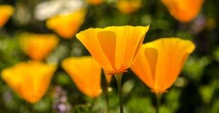 花菱草在与绿色foilage的阳光下 免版税图库摄影