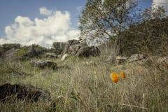 花菱草在加利福尼亚小山的早期的春天 免版税库存照片