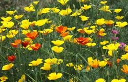 花菱草每年开花的草坪 免版税库存照片