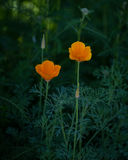 花菱草花在树荫下 图库摄影