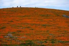 花菱草领域在沙漠在与来通过云彩Eschscholzia californica和倾斜的光束的阴天  免版税库存照片