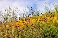 花菱草Eschscholzia californica和开花在步行者峡谷小山的Chia萨尔维亚hispanica在期间 库存图片