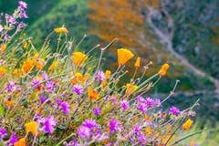 花菱草Eschscholzia californica和沙漠叉骨禽灌木健神露开花在步行者峡谷的laevis野花, 免版税库存照片