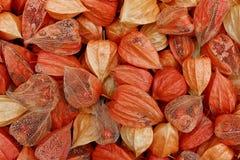 花萼部分显示他们的里面莓果-空泡alkekengi的空泡`特写镜头 库存图片