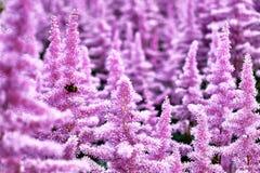 花落新妇属植物美丽的灌木与的蓬松桃红色panicles和一只失败蜂在花,好的背景 免版税库存图片