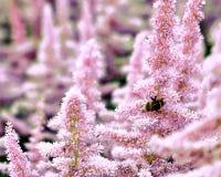 花落新妇属植物美丽的灌木与的蓬松桃红色panicles和一只失败蜂在花,好的背景 免版税库存照片
