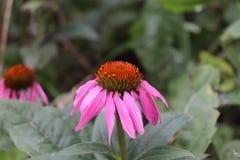 花蓝色爱在雾中的特写镜头,在绿色背景的Nigella damascena 免版税库存图片