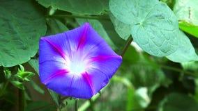 花蓝色野生植物 影视素材