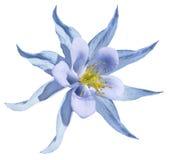 花蓝色 查出在与裁减路线的一个空白背景 没有影子 特写镜头 一朵美丽的浅兰的报春花开花 免版税库存图片