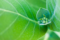 花蕾和绿色事假在花园里 免版税库存照片