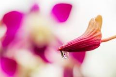 花蕾桃红色兰花宏指令与水滴的 免版税图库摄影
