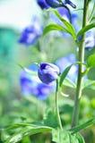 花蕾蓝色翠雀 背景美丽的刀片花园 图库摄影