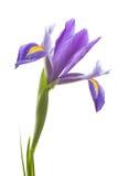 花虹膜紫色 免版税库存照片