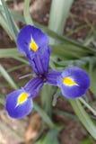 花虹膜针对性的紫色星形三 免版税库存照片