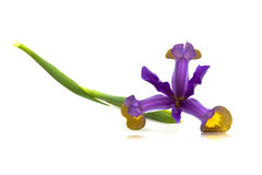 花虹膜紫色杂色 免版税库存图片