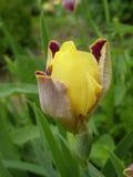 花虹膜黄色 图库摄影