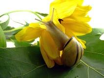 花蜗牛黄色 免版税库存照片