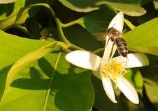 花蜜、蜂蜜和自然 图库摄影