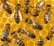 ? 花蜜和蜂蜜在新的comb_2572 库存照片