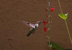 花蜜的蜂鸟飞行在菲尼斯,侧视图 免版税库存照片