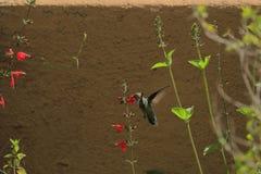 花蜜的蜂鸟飞行在菲尼斯,后面视图 图库摄影