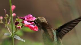 花蜜的蜂鸟飞行在菲尼斯,额嘴视图 免版税图库摄影