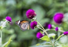 花蜜的蝴蝶在美丽 库存照片