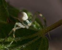 花螃蟹蜘蛛, Thomisidae Misumena vatia 库存图片