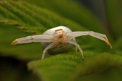 花螃蟹蜘蛛, Thomisidae Misumena vatia 免版税库存照片