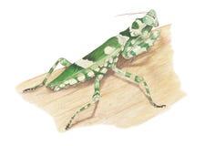 花螳螂 库存照片
