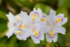 花被装饰的虹膜 库存照片