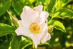 花通配粉红色的玫瑰 免版税库存照片